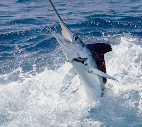 white marlin fishing tournament